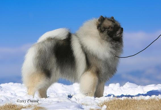 Side view of Keeshond