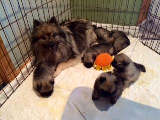 Keeshond with Pups
